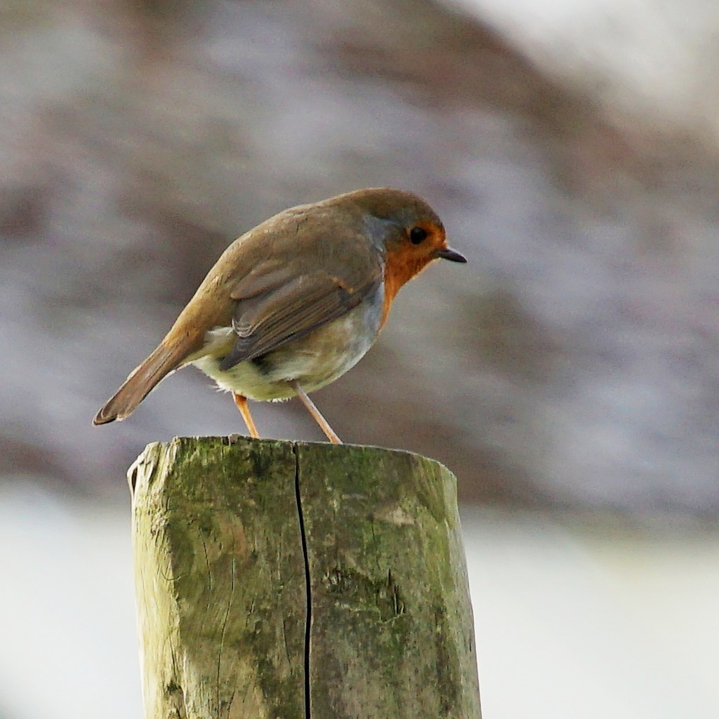 that shy robin  by quietpurplehaze