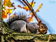 15th Dec 2017 - Grey Squirrel