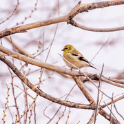 12th Dec 2017 - winter goldfinch