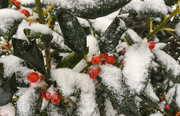 15th Dec 2017 - Snowy Holly