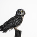 Short-Eared Owl by kareenking