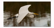 15th Dec 2017 - Egret Fly-by!