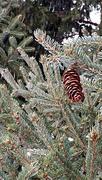 15th Dec 2017 - Lonely Pine Cone
