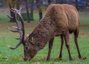16th Dec 2017 - Deer
