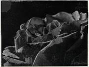 16th Dec 2017 - Black rose
