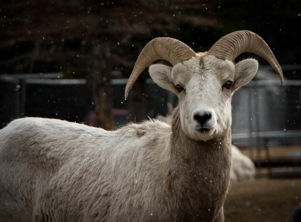 Snowy Mountian Sheep by bokehdot