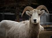 16th Dec 2017 - Snowy Mountian Sheep