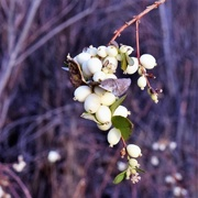 16th Dec 2017 - Christmas Berries