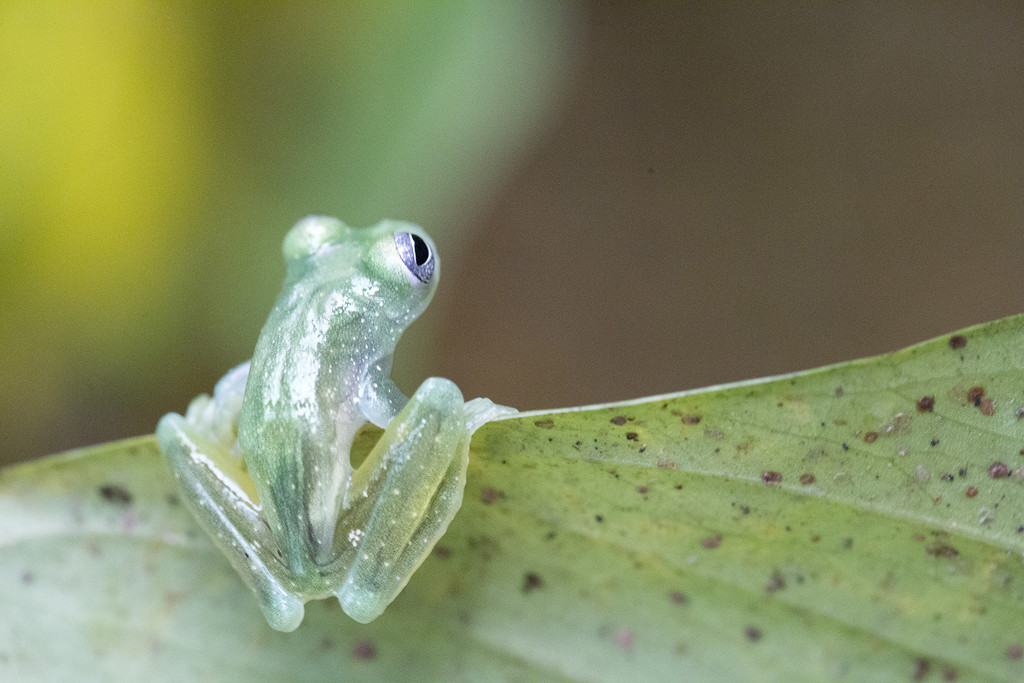 See-through Glass Frog  by pdulis