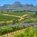 Aggies, vineyards and the Helderberg.....