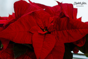 17th Dec 2017 - Poinsettia