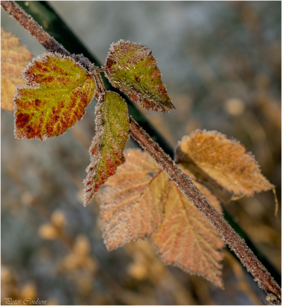Colourful winter leaves by pcoulson