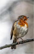17th Dec 2017 - Dishevelled Robin