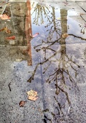 14th Dec 2017 - Plane tree reflection