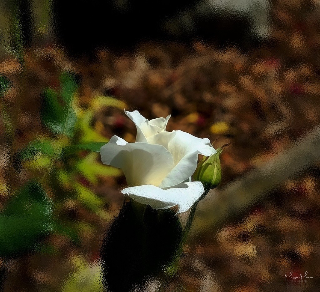 A White Rose by maggiemae