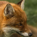 foxy loxy by shepherdmanswife