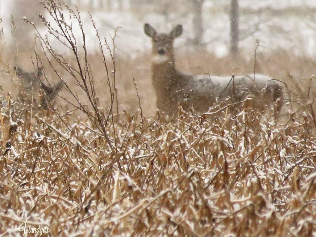 Doe and her 2 Fawns by radiogirl
