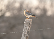 17th Dec 2017 - American Kestrel