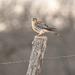American Kestrel by kareenking