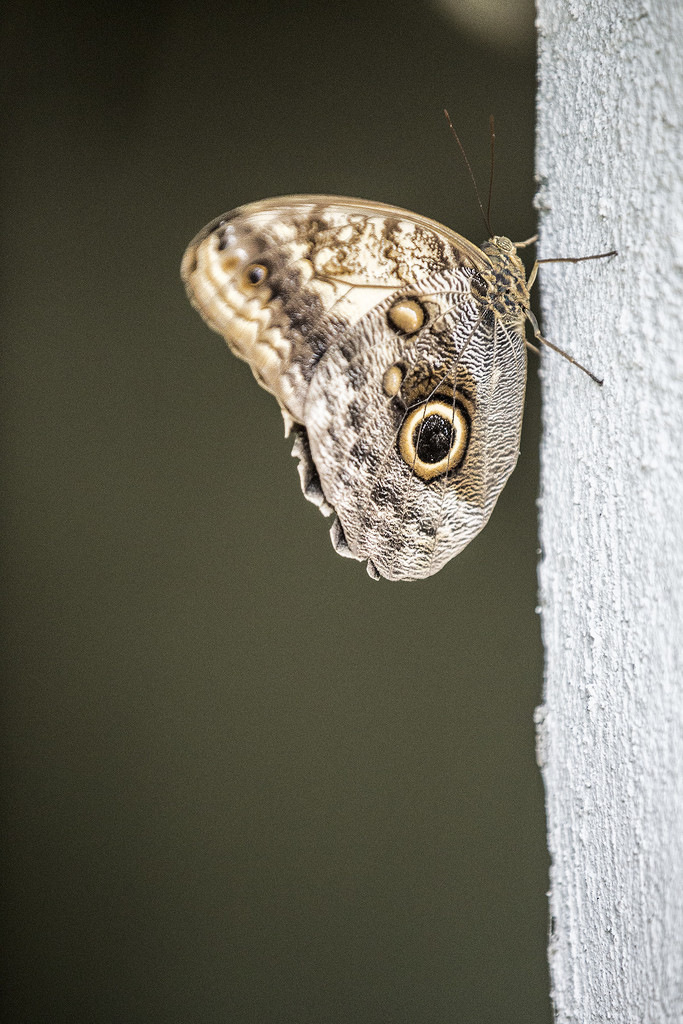 Owl Butterfly by pdulis