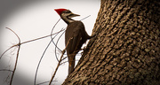 17th Dec 2017 - Pileated Woodpecker!