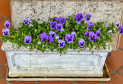 18th Dec 2017 - Blue Pansies on a blue Monday..