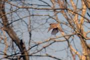 17th Dec 2017 - American Robin in Flight