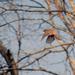 American Robin in Flight by dsp2