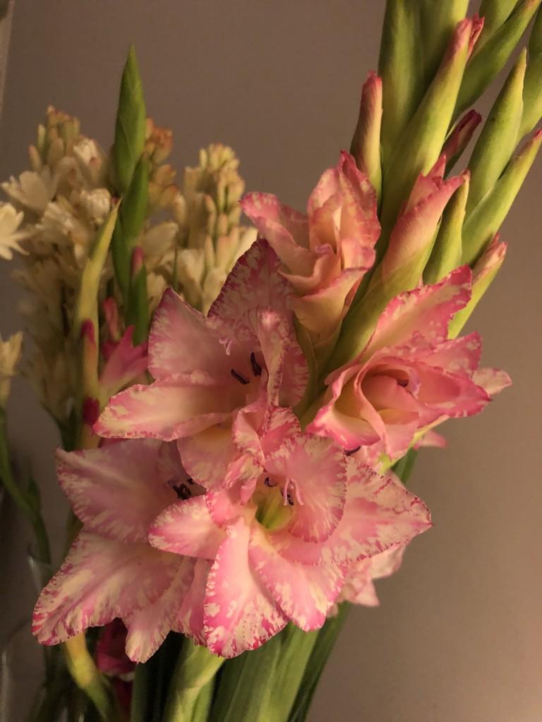 Gladioli flowers  by veengupta