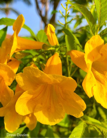 Yellow trumpets  by 365projectdrewpdavies