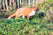 18th Dec 2017 - Fox in the afternoon sun!!!