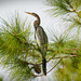 Anhinga in the Pines! by rickster549