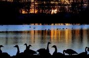 19th Dec 2017 - Sitting Geese