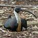 ibis by judithdeacon