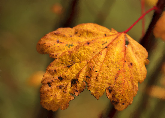 Winter Leaf  by jgpittenger
