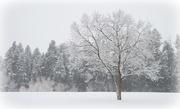 19th Dec 2017 - Single Winter Tree