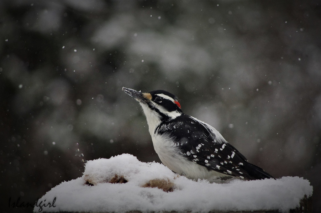 Hairy Woodpecker  by radiogirl