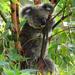 tree shaping by koalagardens