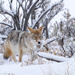 Coyote in Yellowstone by dridsdale