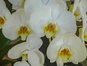 20th Dec 2017 - White Orchids