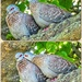 These two Speckled Pigeons seemed so in love. by ludwigsdiana