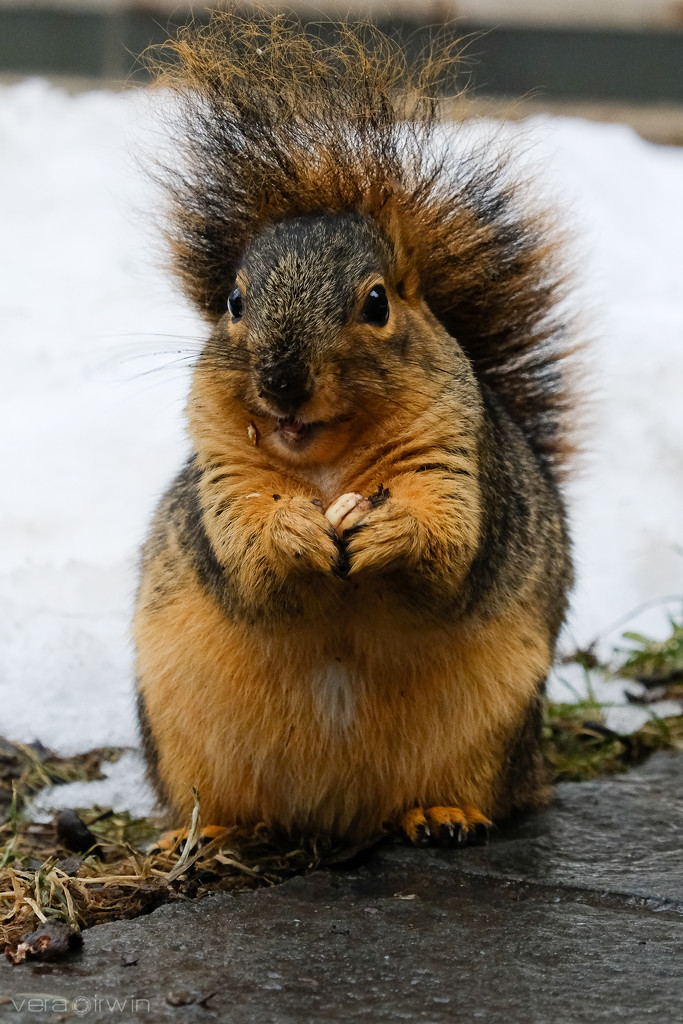 Squirrel Punk by vera365