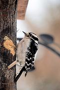 20th Dec 2017 - What ya doin woodpecker??