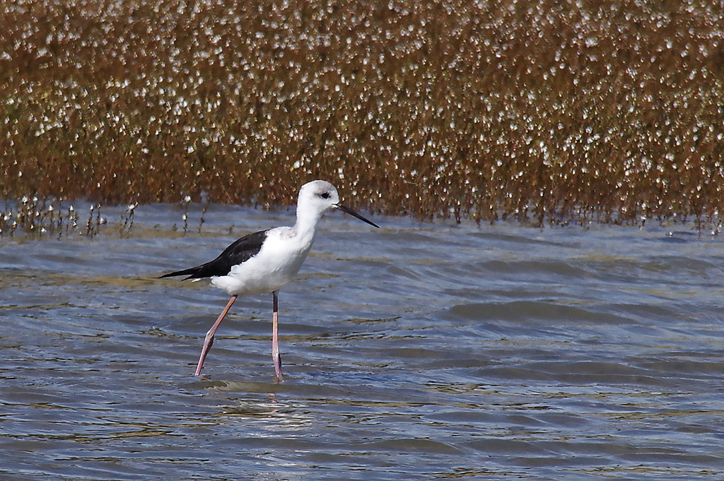 Young pied stilt heading upriver by maureenpp