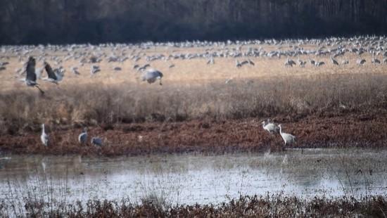 20th Dec 2017 - Sandhill Cranes at Wheeler NWR