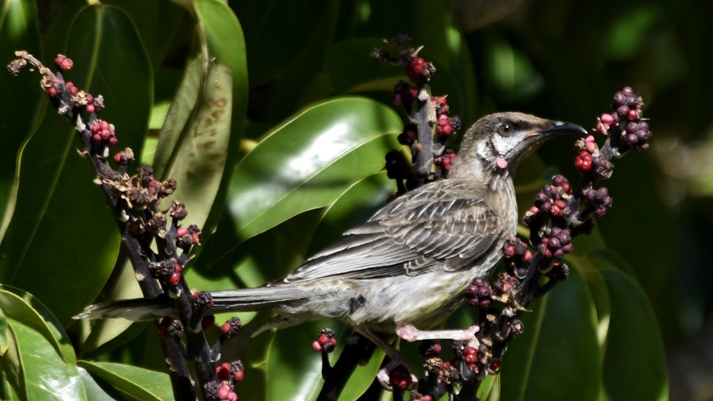 Red Wattlebird_DSC0620 by merrelyn