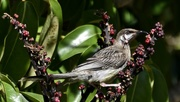 21st Dec 2017 - Red Wattlebird_DSC0620