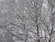 13th Dec 2017 -  Snowy Branches