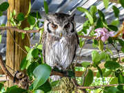 22nd Dec 2017 - A Southern White Faced Owl......
