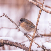 21st Dec 2017 - junco